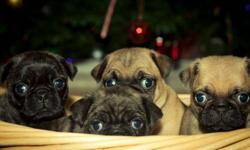These Beautiful Bug puppies are all set to go to good homes the week of Christmas! They come health checked, first needled, dewormed with vet file. I have 2 females and 1 male. 1 female brindle coloured other 2 are fawn. These pupppies make great