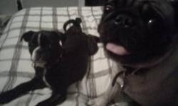 BUGG (BOSTON TERRIER /PUG PUPPY) NEEDS A NEW HOME. HIS MARKINGS ARE BEAUTIFUL LIKE A BOSTON AND HE WAS PICK OF THE LITTER. THIS CUTE LITTLE GUY HAS THE FACE, BODY AND TAIL OF A PUG. HE NEEDS A FAMILY HOME, WITH PEOPLE THAT HAVE MORE TIME TO SPEND WITH
