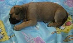 We have fawn and brindle boys and girls ready for their new homes. Pups have been vet inspected, de wormed, and had first shots. They are being sold non registered for pets, but both parents that are on site for viewing are registered, and come from