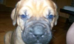 Harley and Magnum are parents!!!!!   My bullmastiffs had puppies! They were born on November 5th. Everyone is happy, and healthy!   The puppies are adorable and will be eight weeks old right after Christmas.   Harley is the mummy, she is a rust colored