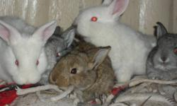 We have some homeraised bunnies for sale. Will make good pets and are handled daily. Various colors. Come pick out your baby bunny now.  Will make your child very happy on Christmas Day!