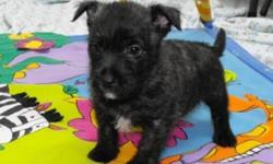 These little rascals make great pets, they are smart, loyal and love attention. The first 4 pictures are boys, and the 5th picture is a little girl. Puppies come with health guarantee, and have gotten their first vaccination and have been dewormed.