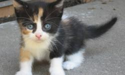 I am looking for a calico kitten if you have any please contact me :) Thank you!