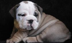 CANADIAN KENNEL CLUB REGISTERED ENGISH BULLDOG PUPPIES AVAILABLE......we have some goregous puppies available.Our bulldogs are superior in both looks and health.We do offer a guarantee on all our puppies and life time return if needed.Before any of our