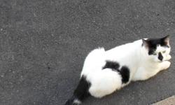 Beautiful almost all white cat. I already have two cats but they do not take too kind to him.He has a very soft temperment and is very lovable. A little on the shy side. He does not spray and is very,very clean about himself. Serious inquiries only