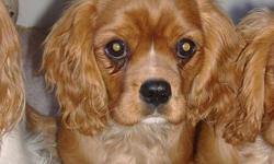 Cavalier is a loyal toy breed ready to join in activities and cuddle in your lap. Are you ready for a companion to share your home and warm your heart for years to come?   Excellent temperament for family, empty nesters and accept adjusted pets easily.