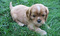 Are you ready for a companion to share your home and warm your heart for years to come?  Cavalier is a loyal toy breed ready to join in activities and cuddle in your lap.  Excellent temperment for family, empty nesters and accept adjusted pets easily.  No