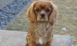 Cavalier; a loyal toy breed ready to join in activities and cuddle in your lap.  Are you ready for a companion to share your home and warm your heart for years to come?  Excellent temperament for family, empty nesters and accept adjusted pets easily.