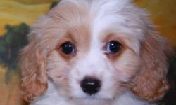 First generation cross between a Cavalier King Charles Spaniel and a Bichon Frise. Excellent family companions. health guaranteed. first shots. veterinary health certificate. Please call 289-780-0688 for an appointment. We are also happy to answer any