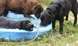 """ERLASTYN KENNELS IS VERY EXCITED TO ANNOUNCE English Labrador Puppies Looking for nice family homes! """"Baloo"""" our Sire of these puppies placed #5 in Canada with limited showing. He is a very solid, short, muscular male weighing approx 90 lbs He produces"""