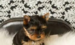 I have 3 female yorkies and 1 male yorkie for sale. Their father is a champion and the mother is a great family pet. Puppies come with a health agreement, 2 vac. , registered, deworming, vet checked, microchipped, tails docked, etc... They can be viewed