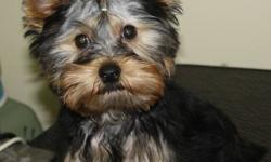 Beautiful Male Yorkie Puppy available for Pet home.  He will be 5-6 pounds and is partially potty trained outside as well as on pee pads.  If you are looking for a small dog with a big attitude look no further.  Our little Sully has not figured out that