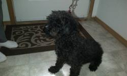 My name is Charlie and im almost 1 year old. Im a black Yorkie Poodle with tones of energy. Im house trained and have my vaccines to date.I have my paper and Im not fixed. I LOVE going for walk, playing in the park and playing with my toys and owners.