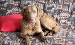 """SHELLEY"" 4-5 yr old female Chesapeake. Found as a stray. Good with dogs, cats okay. Very sweet girl, people dog. Shelley desperately needs a forever loving home! She was found along a ditch. She has multiple buckshot pellets around her face and lost"