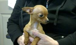 We have two lovely home raised chihuahuas for sale.    Both are ready to go and fully up to date on their vaccinations   Both are fully dewormed and have two shots each   Both come with full veterinary documentation   Pic 1: Tan female   Pic 2: Red tan