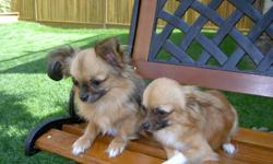 Chihuahua male ,23 month old, all shots done,vet certificates,2.5-3 lbs,very healthy and sociable.He has been home raised and very well attended to.He would make woundeful additions to your family! RAISED WITH KIDS AND OTHER DOGS.Serious inquiries