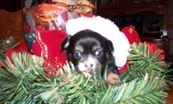 CUTE AND CUDDLY CHIHUAHUA PUPPIES! HOHOHO As you can see we are all ready to celebrate Xmas can't wait for Santa to come cause we have been really good boys and girls. Some of us are so small though I hope Santa doesn't miss us. I own both parents and the