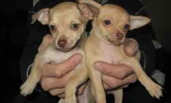 We have 2  female chihuhua puppies ready for a great home, they are both de-wormed, vet checked and have their first shot. The mother is brown and weighs 7 lbs and the father is brown with white and weighs 6 lbs. Any further questions please feel free to