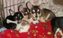 Chihuahua Puppies   Beautiful Chihuahua puppies 1 girl and 6 boys in the litter The father is a black and tan chihuahua Mother is a fawn chihuahua Grew up in a family environment their whole life, very well associated with children and other dogs. They
