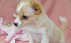 CHIHUAHUA PUPPIES!   Come with: food blanket toy chew treats Chihuahua care sheet recommended house training information 2 vaccinations preventative deworming   PICTURE 1: Male, beige, largest of the litter maturing to be around 6 -6.5lbs. He is outgoing