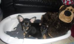 - 10 week old Black and Tan short-haired Chihuahua Puppies (1 male & 1 female) for sale to good homes. - Have 1st set of shots and deworming. Come with vet records. - Very healthy - fed the best quality vet-recommended food! - Well taken care of,