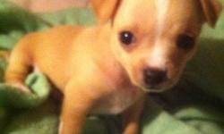 we have 4 deer chihuahua puppies for sale. 2 males and 2 females. there only 6 weeks old at the moment, but thought we should just start looking for good homes.  they are absolutely adorable and are eager to be the newest member of your family! please