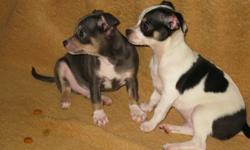I have two male chihuahua puppies for sale. They have been vaccinated and dewormed. Call (204) 370 9265.