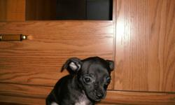 for sale 3 adorable chihuahua puppies 1 brown male 1 black female with brown legs 1 black female with white legs E-mail: cwarkentin@msn .com or call (204) 745 3906 ask for Denise Also puppies have had first shots already