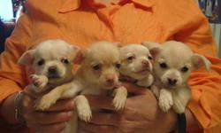 CHIHUAHUA PUPPIES PURE BREED    THREE FEMALE AND ONE MALE VERY LOVING AND PLAYFUL PUPPIES PRICE  $ 500    FOR MORE INFO CALL ( 416 ) 936-8880