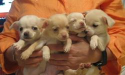 CHIHUAHUA PUPPIES PURE BREED   2  FEMALE VERY LOVING AND PLAYFUL PUPPIES PRICE $ 500  OR BEST OFFER FOR MORE INFO CALL ( 416 ) 936-8880