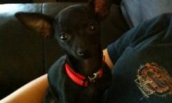 4 month old black chihuahua puppy for sale. Still needs his booster shots but all other shots up to date. Excellent with kids and bigger dogs(we have a pity and a German Shepard as well) 500$ obo This ad was posted with the Kijiji Classifieds app.