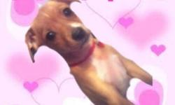 Most Precious tiny female Chihuahua X puppy is looking for a wonderful home. She is just 8 weeks old with lots of personality. She is a gorgeous brown color, with white chest and 4 little white paws. She is a Chihuahua X jack Russell puppy. She is a tiny