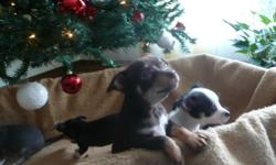 I have a few chihuahuas for sale that will make a perfect christmas gift. They got vaccinated and dewormed on Dec 12 which means we have papers for them. For more information call (204) 370 9265 or send an e-mail.
