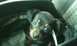 Amazing addition for christmas , Beautiful half chihuahua and half miniature dash hound . 10 weeks old , very affectionate , piddle pad trained . Very nice temperament . We will also include carry cage , food , toy ,collar and leash and piddle pads. All