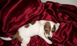 Ready to go now. Will be 8 weeks on Christmas. Mom is Jack Russell and dad is Chiweinie. Very play full and cuddly. Love playing with out husky or cats. Can deliver to regina or be picked upnear as we are always there during the week, We are in Balcarres.