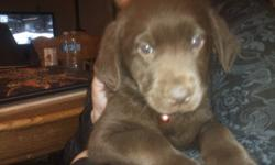 we have 4 female choc lab puppies for sale. they come vet checked with their first shots and de wormed. will be able to go nov 12. you can call or text tara at 403-331-0310 first one is the red collar, second yellow collar, third pink collar and last is
