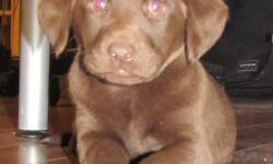3 FEMALES PUPS. THEY WILL COME WITH FIRST SET OF NEEDLES AND BE DEWORMED., MOM IS A REG CHOC LAB AND DAD IS REG SILVER LAB. PUP WILL NOT BE REG. PUPS WILL BE READY TO GO TILL FIRST WEEK IN NOV. FOR MORE INFO PHONE 306 344 7912