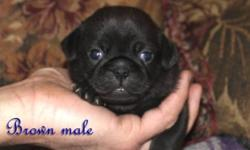 I have for sale a choc pug pup, he will come with his first vaccine, bordertella, dewormed, because of his extremely rare color we are only selling him under co owner contract, so that we can obtain a few litters from him in the future. For further