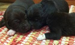 JUST IN TIME FOR CHRISTMAS! Chocolate Lab German Wire Hair Pointer X puppies! Awesome bird hunting dogs and make great family pets! Will be ready for Christmas! Call (780) 514-7880!