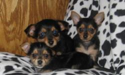 Chorkie puppies for sale. Three males and one female. Mom is a Chihuahua and dad is a Yorkie. They have been checked by the vet, first shots and dewormed. Adult estimated weight will be from 5-7 lbs. Delivery to the city.