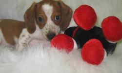 Christmas Puppy--Special Price Beautiful Smooth Purebred MALE Miniature Dachshund   Quartz is a Red Piebald-a lovely pattern!  Will be smaller--Dam is 8 pounds, Sire is 7 pounds. He is dewormed & vaccinated. 1 year health/replacment guarantee Healthy,