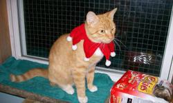 3 beautiful Christmas kittens to give away....2 orange and white....one torti color(multi-color)...will fit in a loving family's stocking.......please call John 742-8976.....we are located in Yarmouth town center.....picture of the mother is