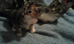 The kittens will be ready to go mid December. The Gray striped one is male and has the extra toes! Asking $50 for him. The Multicolored one is female and she is free to good home. I'm also looking for a home for the mother cat. She is Polydactyl and very