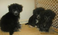 we have three adorable black puppies for sale two males one female we need to sell them before christmas they have first shot ,deworming and vet check serius interesting please call me or e-mail me the price is negociable they are ready for a new home