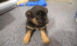 we have 6 puppies for sale 3 males 3 females mother is belgium malonoise x german sheppard father is black lab x bull mastiff very friendly and loyal breeds and they are great with our children