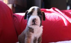We have 11 beautiful healthy, clean, playful little boxer puppies that will be ready to be given to your Valentine. :D Both parents are CKC registered and are stunning examples of the Boxer breed. The puppies are raised in our home with plenty of hands on