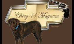ONLY 3 FEMALES LEFT AVAILABLE  Litter of CKC chocolate lab pups. Born from CKC yellow lab female and CKC chocolate lab male. Both parents have excellent pedigrees from titled champion dogs. Both parents have clear eyes and hips good. Mother is EIC clear.
