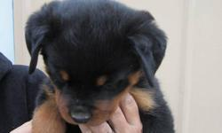 CKC reg German Rottweiler pup very large female big boned beautiful head,great conformation ,dark pigment,dark eyes,excellent temperament. Parents are imported from Europe. Parents are health tested OFA'd  Puppies will have 3 shots, wormed, vet check and