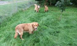 Purebred Golden Retriever puppies born Sept 30. Ready to go. All our pups had their first shots, deworming, tattoo, vet check. Includes CKC registration papers. Family raised, both parents on site. Over 17 years experience raising Goldens. Puppies sold