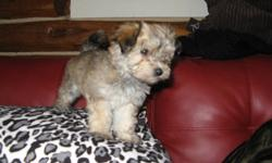 This beautiful loving Havanese pup would make that special someone on your Christmas list a perfect gift of companionship. Havanese are loyal, gentle, loving, people pleasing dogs. 1 female left that is CKC Reg. with Champion blood lines. They have